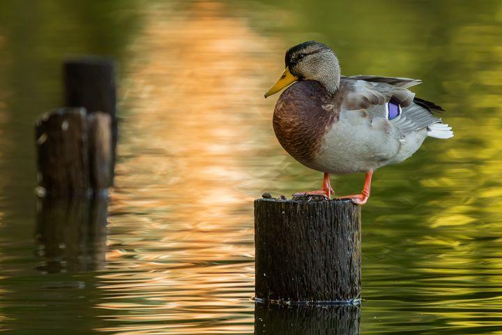Mallard - Nature photos