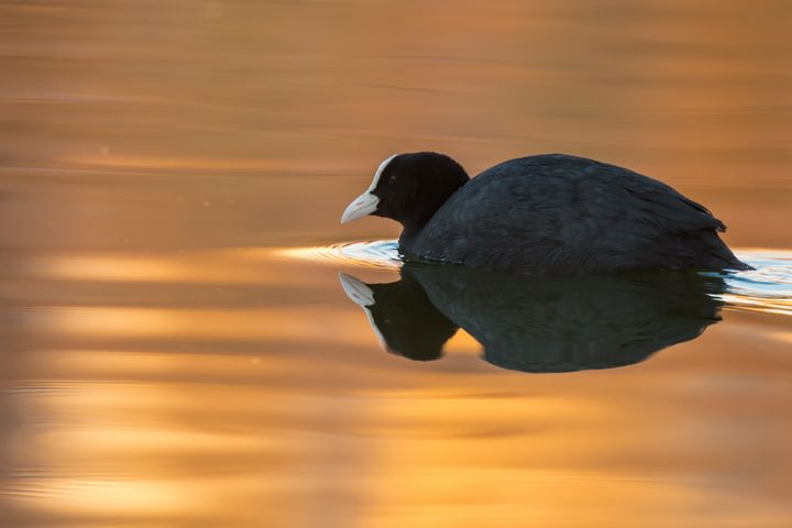 Eurasian Coot - Nature photos