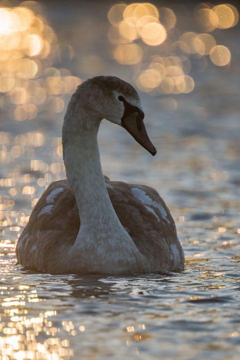 Mute Swan - Nature photos