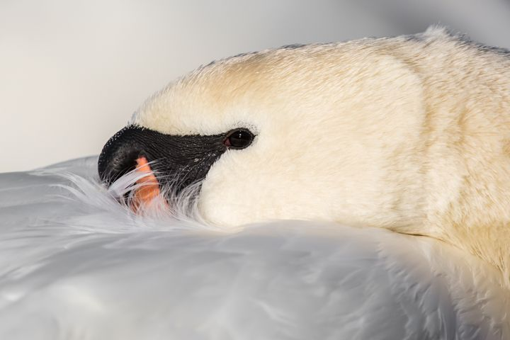 Mute Swan - Nature photos