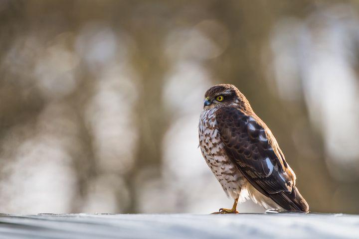 Eurasian Sparrowhawk - Nature photos