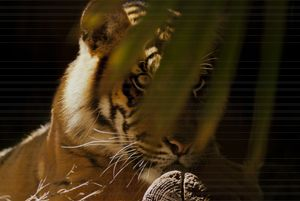 EYE OF THE TIGER - Tezza's fine art photography