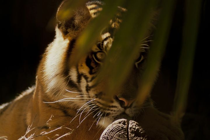 EYE OF THE TIGER - Tezza'sfineartphotography