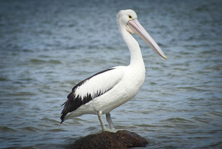 PELICAN - Tezza's fine art photography