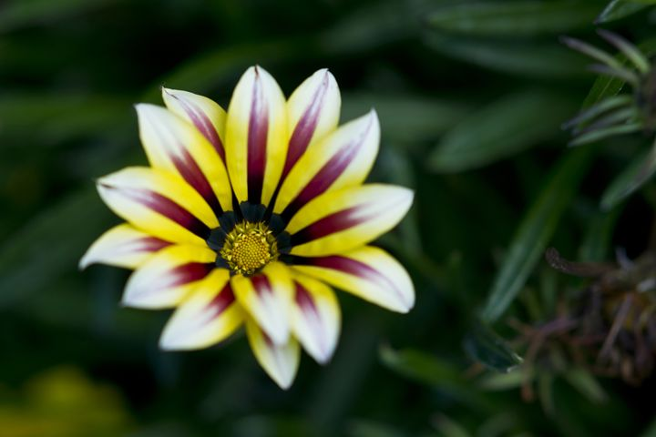 GAZANIA - Tezza's fine art photography