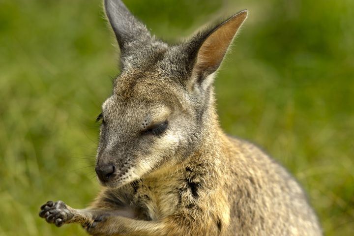 WALLABY - Tezza's fine art photography