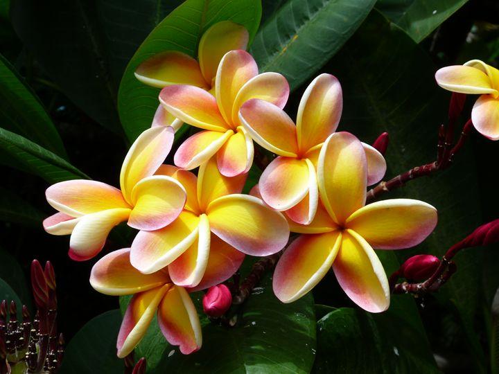 Hybrid Molokai Plumeria - LuckyPhotos