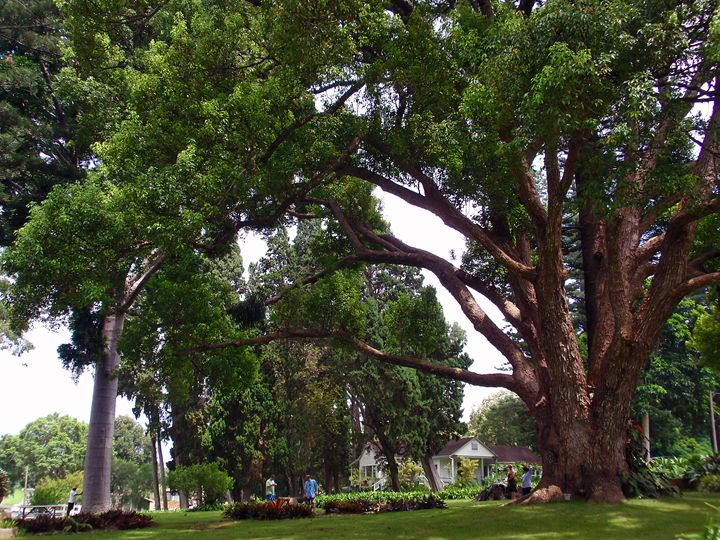 GIANT ANCIENT TREE Maui - LuckyPhotos