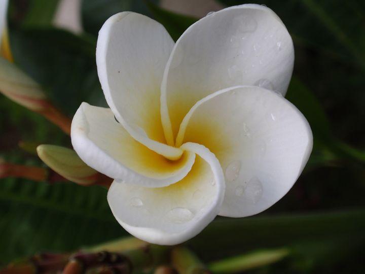 Hawaiian Lady Plumeria - LuckyPhotos