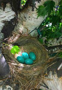Robins eggs - Duckworth photography