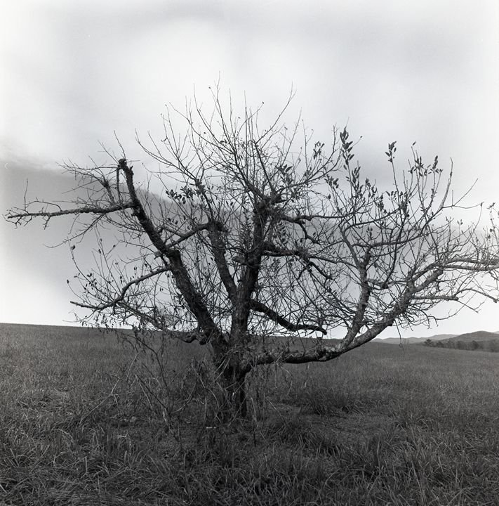 Withered Apple Tree - Lucia Rollow Photography