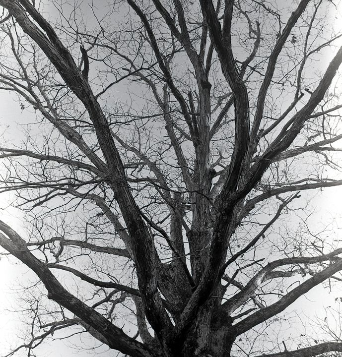 Tree Branches - Lucia Rollow Photography