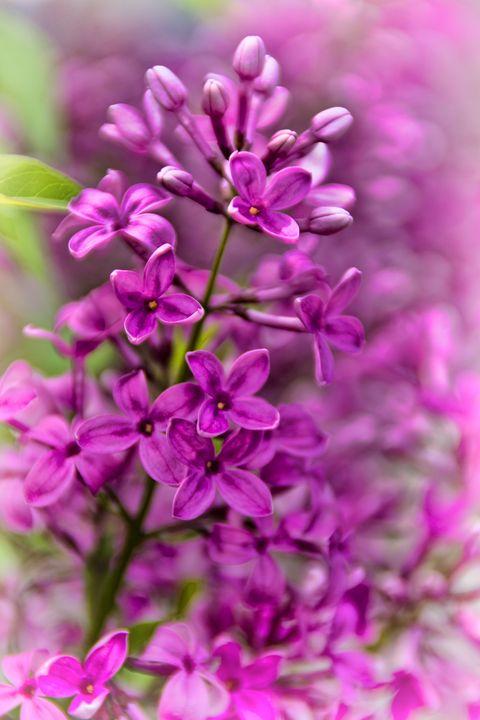 Spring Lilacs - Crazy Woman Art