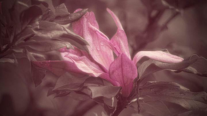 Magnolia Tears - Crazy Woman Art