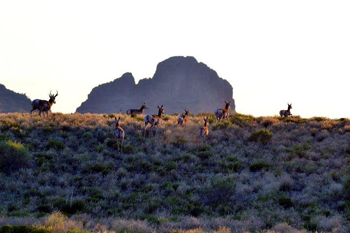 Pronghorn run into the setting sun - John McEvoy Photographer