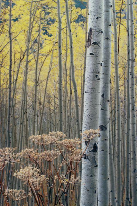 Aspens Independence Pass, Colorado - John McEvoy Photographer
