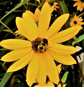 Black-eyed Susan and the Bee