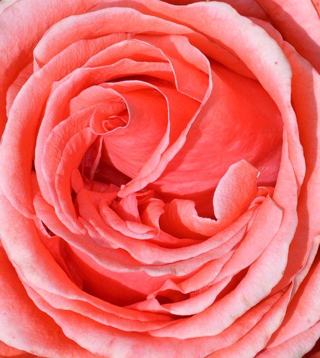 Red Rose - Peter Briggs Digital Images