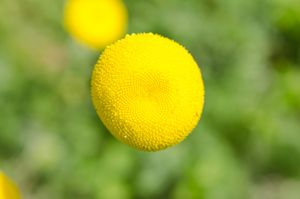 False Artemisia (Cotula), - Peter Briggs Digital Images