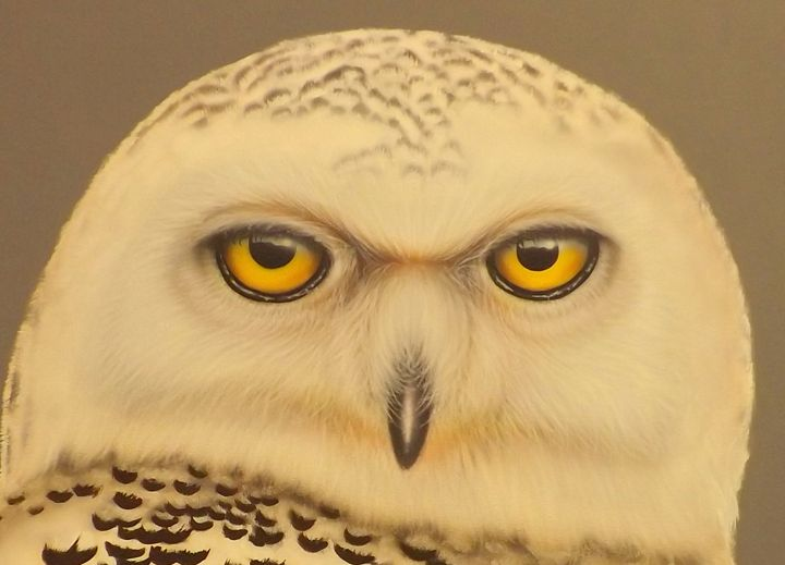 Snowy Owl - PaintingsByDarren
