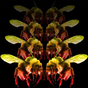 Bumblebee Rumbles