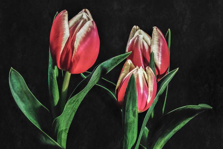 My Three Tulips - Rybird
