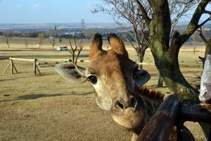 Well hello Giraffe - Bianca Nedjée Photography