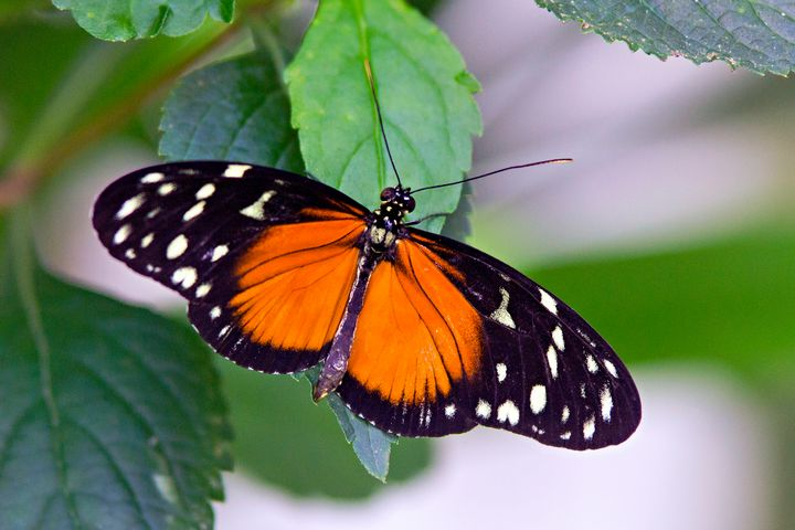 Orange And Black Butterfly - Happy Little Pixels
