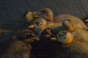 Ducklings - Jenny Davis Photography