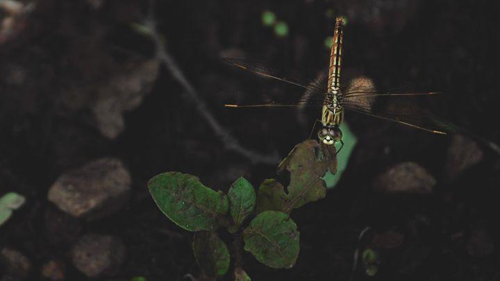 a dragon fly - sabby singh