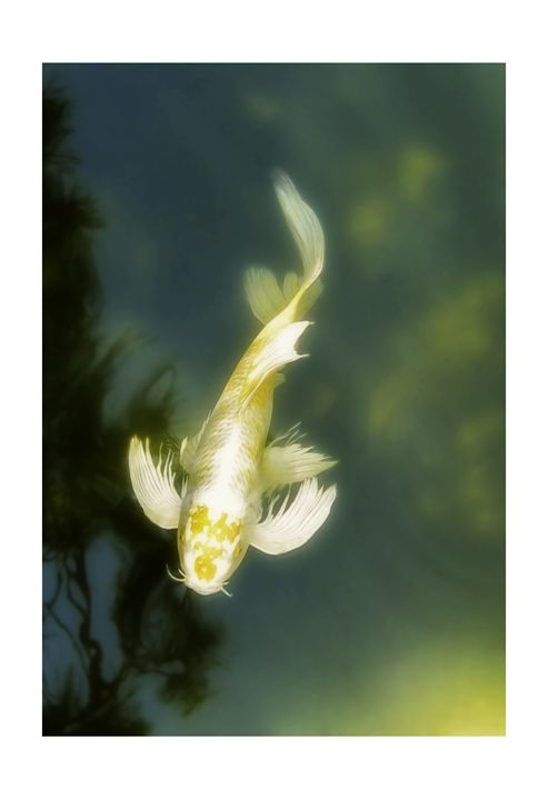 Koi Japanese Sailfin - G Photo Fine Art