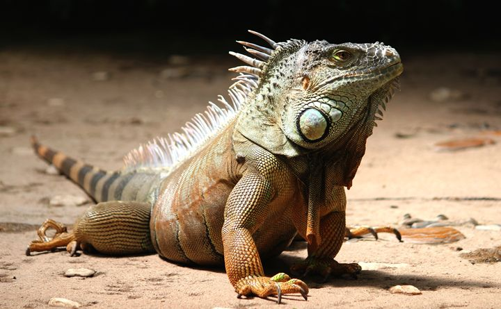 Iguana Photograph - Graphing Guru