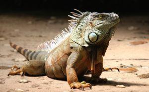 Iguana Photograph