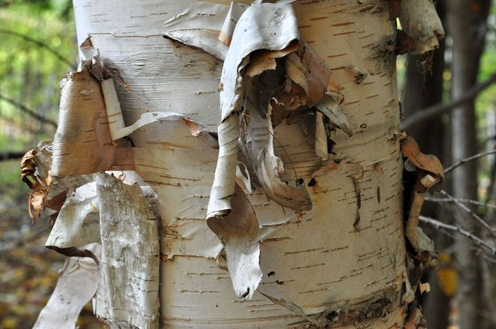 White Birch Bark - Black River Images