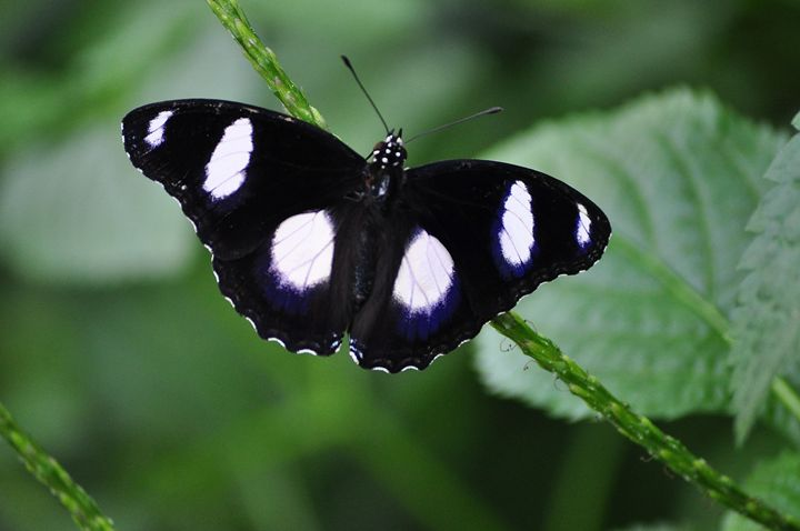 Tropical Butterfly - Black River Images