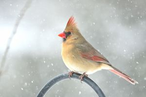Snowy Northern Cardinal