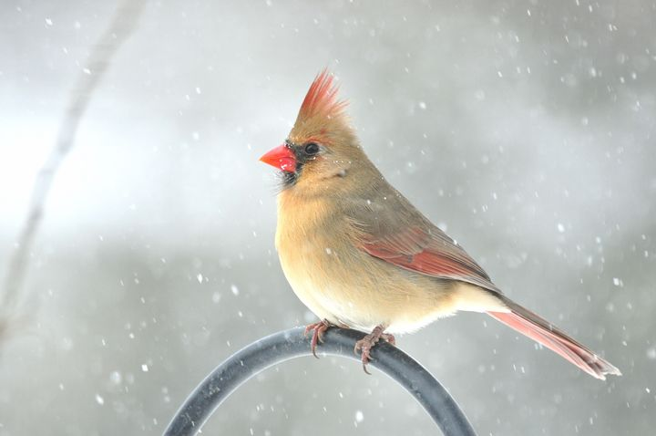 Snowy Northern Cardinal - Black River Images