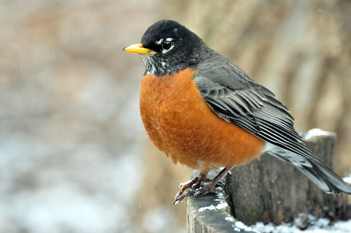 Robin - Black River Images