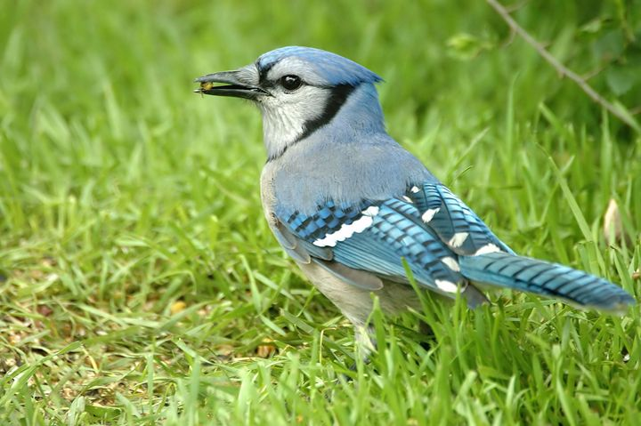 Hungry Blue Jay - Black River Images