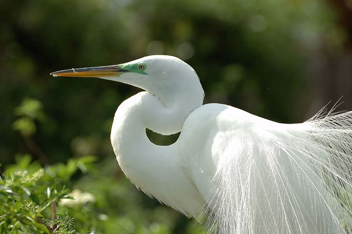 Beautiful Egret - Black River Images