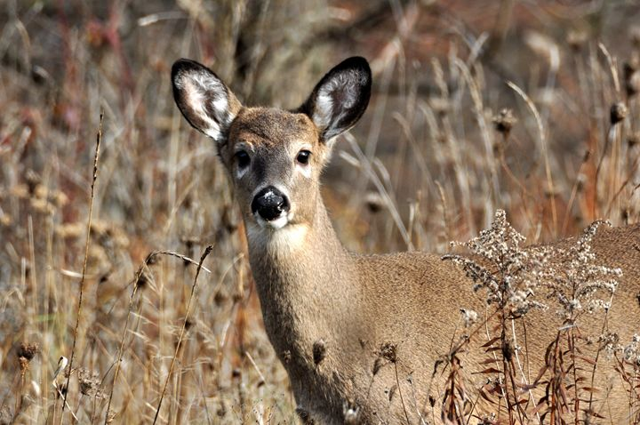 White Tailed Deer - Black River Images