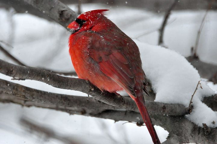 Winter Cardinal - Black River Images