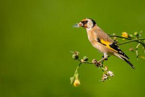 European Goldfinch eating seeds