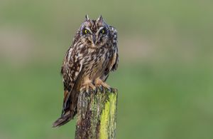 Short-eared owl expression