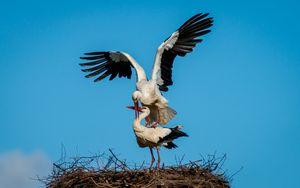 Couple White Storks mating at nest