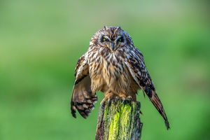 Short-eared owl drying off