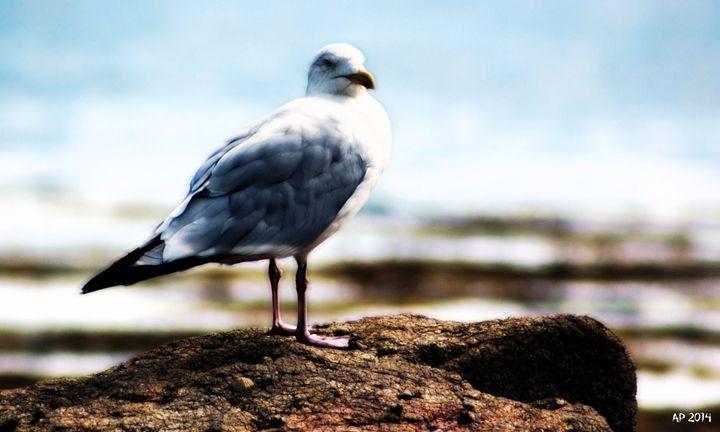 Gull - Alan Pitts