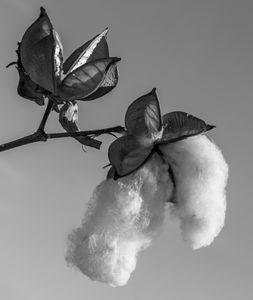 Clicking Cotton - Christopher Warren Sr.