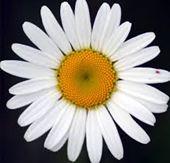 daisy12