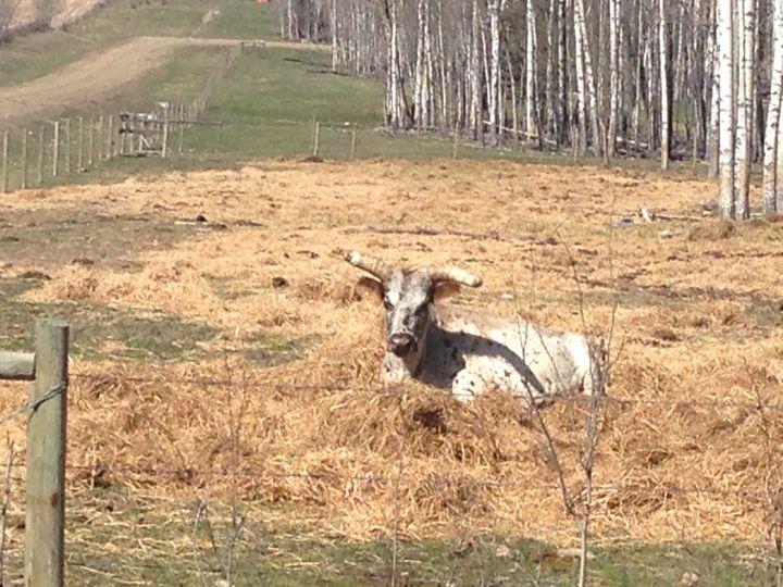 Lazy cow - Mountain Breeze